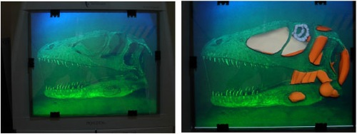 Figure 2: Rainbow  hologram  of  a  dinosaur  skull  combined  with  graphical representations of soft tissue and bones.